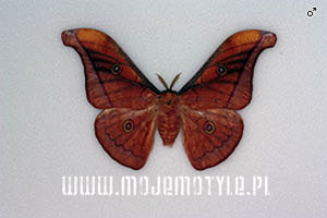 antheraea jana