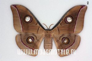 antheraea mylitta